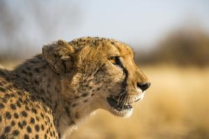 A Cheetah, Acinonyx Jubatus, on the Desert Plains in Southern Namibia Stalks Prey by Alex Treadway