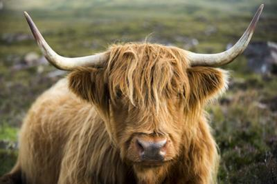 A Highland cow on the Applecross Peninsula in Scotland. by Alex Treadway