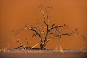 Acacia Tree in Front of Dune 45 in the Namib Desert at Sunset, Sossusvlei, Namib-Naukluft Park by Alex Treadway