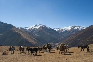 Pack horses cross a small pass near Goyul along the Lasa to Gasa trekking route, Bhutan, Himalayas, by Alex Treadway