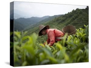 Picking Tea Leaves on a Puer Tea Estate in the Yunnan Province by Alex Treadway