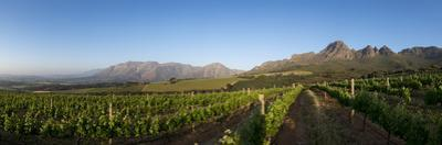 Vineyards Near Stellenbosch in the Western Cape, South Africa, Africa by Alex Treadway