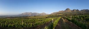 Vineyards Near Stellenbosch in the Western Cape, South Africa, Africa by Alex Treadway