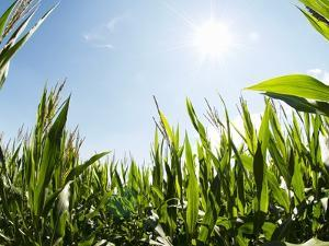 A Corn Field in the Sun by Alexander Feig