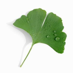 A Ginkgo Leaf with Drops of Water by Alexander Feig