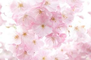 Cherry Tree, Blossoms, Pink, Close-Up by Alexander Georgiadis