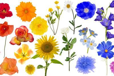 Group of Rainbow Color Flowers Isolated on White by Alexander Potapov