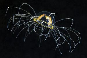 Hydrozoan Medusa by Alexander Semenov