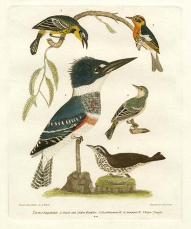 Antique Kingfisher I