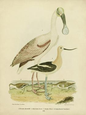 Antique Spoonbill and Sandpipers by Alexander Wilson