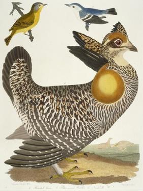 Birds 27. 1. Pinnated Grous. 2. Blue-Green Warbler. 3. Nashville W., 1808-1814 by Alexander Wilson