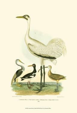 Louisiana Heron by Alexander Wilson