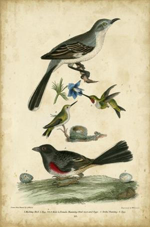 Wilson's Mockingbird