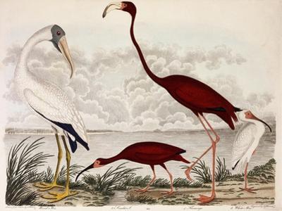 Wood Ibis, Scarlet Flamingo, White Ibis, C.1828-1829