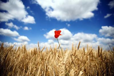 Wheat and Poppy Flower