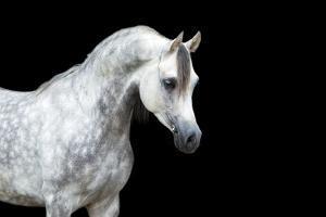Arabian Horse Head Isolated on Black Background. by Alexia Khruscheva