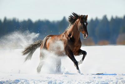 Horse Gallops in Winter by Alexia Khruscheva