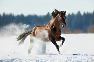 Horse Gallops in Winter by Alexia Khruscheva