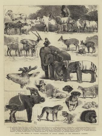 Hrh the Prince of Wales's Collection of Indian Animals at the Zoological Gardens by Alfred Chantrey Corbould