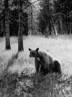 Bear in Woods in Yellowstone National Park by Alfred Eisenstaedt