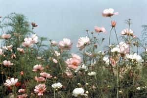 Cosmos Flowers at Beetlebung Corner, Martha's Vineyard, Massachusetts 1960S by Alfred Eisenstaedt