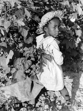 Daughter of Sharecropper, Lonnie Fair, in Field Picking Cotton by Alfred Eisenstaedt