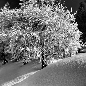 Tree Covered in Snow on Alpine Slopes of Winter Resort by Alfred Eisenstaedt