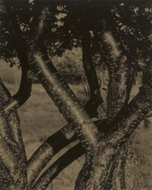 Dancing Trees, 1922 by Alfred Stieglitz