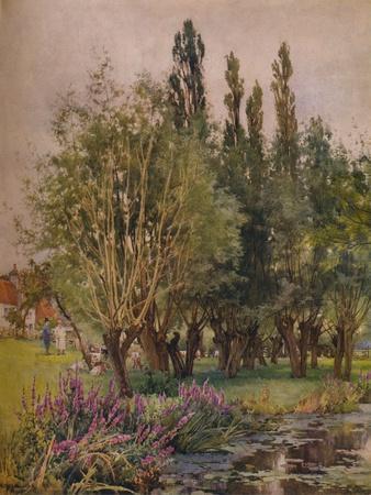 Purple Loosestrife, c1891