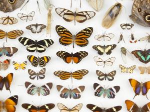 Butterfly Collection at Finca Hartmann by Alfredo Maiquez