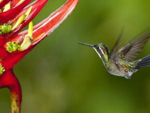 Gray-Tailed (White-Throated) Mountain Gem, Female (Lampornis Cinereicauda) by Alfredo Maiquez