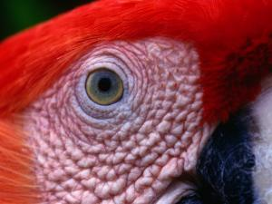 Scarlet Macaw (Ara Macao), Tambopata-Candamo National Park, Madre De Dios, Peru by Alfredo Maiquez