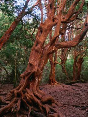 Trunks of the Arrayanes Tree in the Parque Nacional Los Arrayanes, Argentina by Alfredo Maiquez