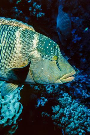 Humphead Wrasse with Soft Corals at Elphinstone Reef, Red Sea, Egypt by Ali Kabas
