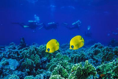 Yellow Butterflyfish with Scuba Divers in Background, Red Sea, Egypt by Ali Kabas