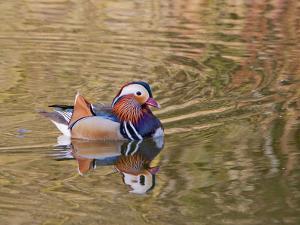 Beijing, China, Male mandarin duck swimming in pond by Alice Garland