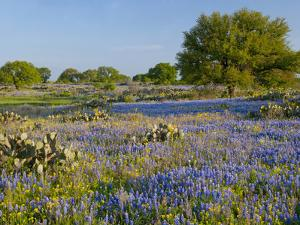 Bluebonnets and Oak Tree, Hill Country, Texas, USA by Alice Garland