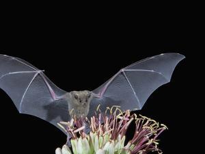 Leafnosed Fruit Bat, Arizona, USA by Alice Garland