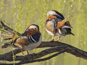 Mandarin Duck, Beijing, China by Alice Garland