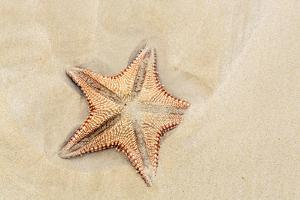Caribbean, Anguilla. Close-Up Shot of Starfish in Sand by Alida Latham