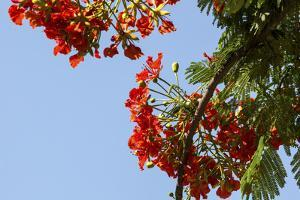 Close-Up of African Flame Tree, Stone Town, Zanzibar, Tanzania by Alida Latham