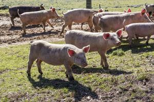 Italy, Sardinia, Gavoi. Group of Pigs Playing in the Mud at a Farm by Alida Latham