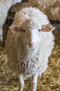 Italy, Sardinia, Gavoi. Sheep Inside a Hay Filled Barn by Alida Latham