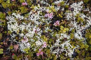 Russia, Kamchatka, Karaginsky Island, Tundra Vegetation Wildflowers by Alida Latham