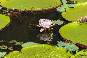 Suriname, Paramaribo. Water Lily and Lily Pads at Fort Nieuw Amsterdam by Alida Latham