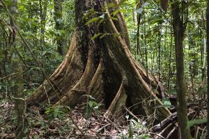 Trinidad. Close-Up of Tree Trunk at Asa Wright Nature Centre by Alida Latham