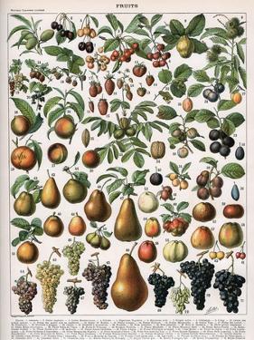 Illustration of Fruit Varieties, C.1905-10 by Alillot