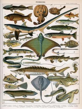 Illustration of Ocean Fish, C.1905-10 by Alillot