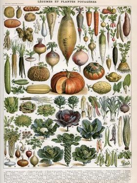 Illustration of Vegetable Varieties, C.1905-10 by Alillot