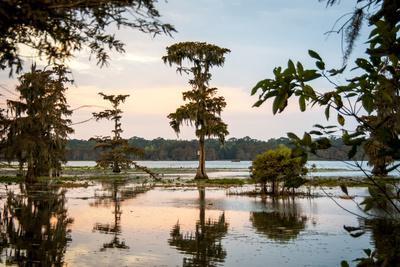 Bald Cypress at Sunset, Atchafalaya Basin, Louisiana, USA